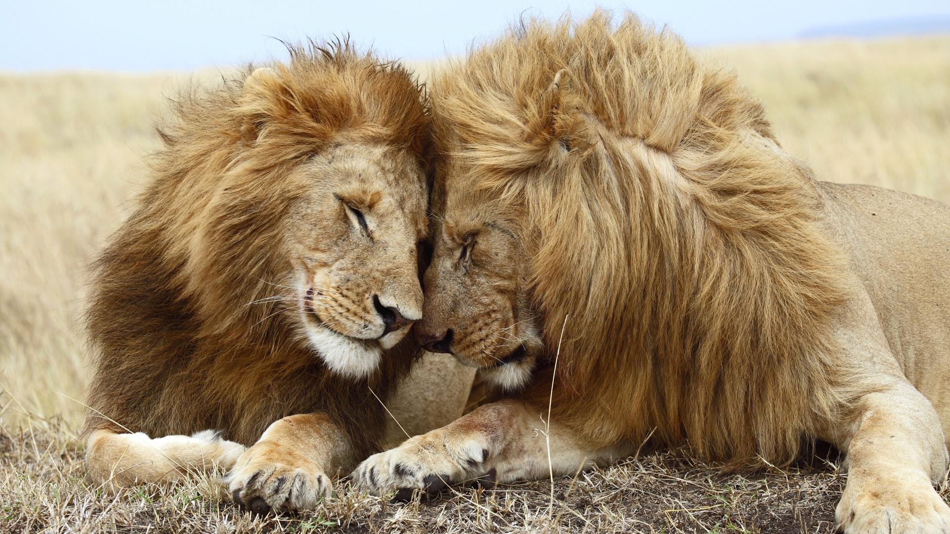 Lion Et Lionceau Fond Ecran Hd
