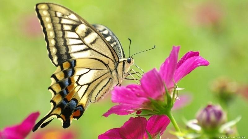 Insecte Papillon Butine Fond Ecran Hd