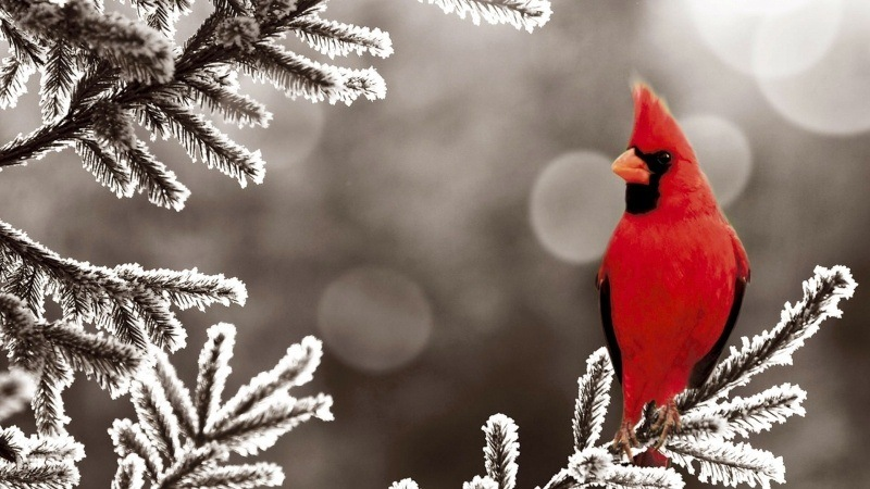wallpaper oiseau cardinal rouge