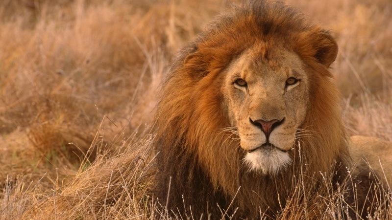 Tête De Lion Fond écran Hd Fond Ecran Hd