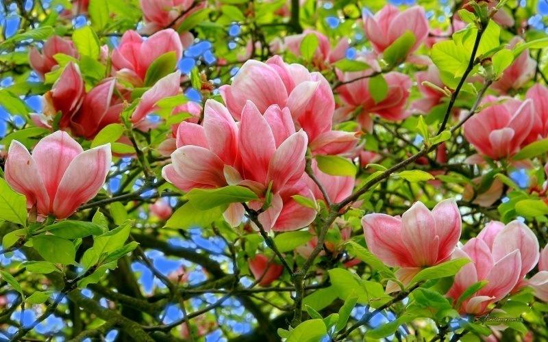 Fleur Du Printemps Magnolia Rose Fond Ecran Hd