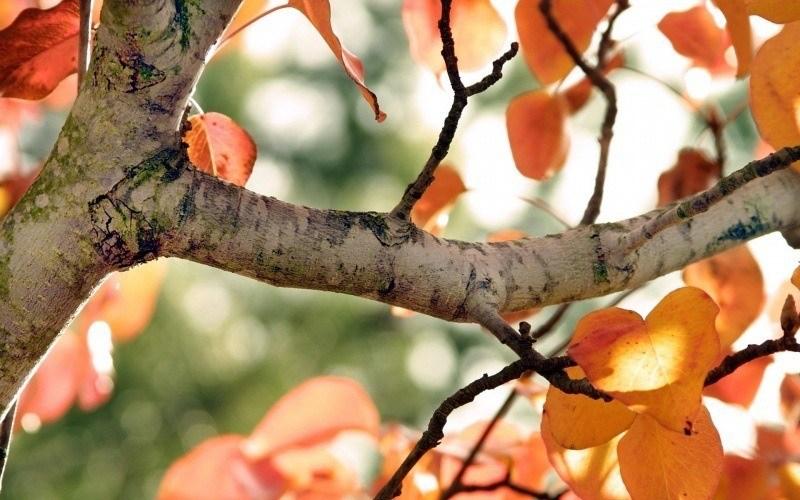 foto de arbre automne feuille:: Fond Ecran HD