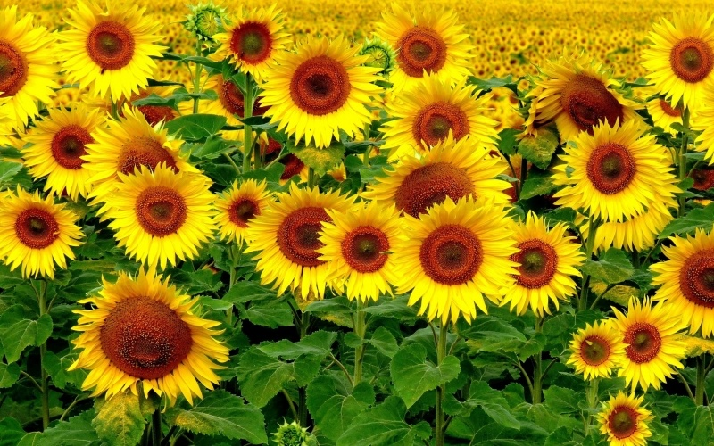 champs de tournesol photo