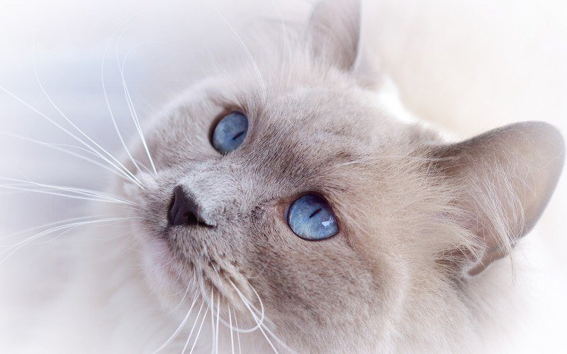 chat regard yeux bleu wallpaper