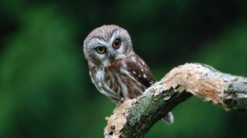 photo chouette oiseau hibou
