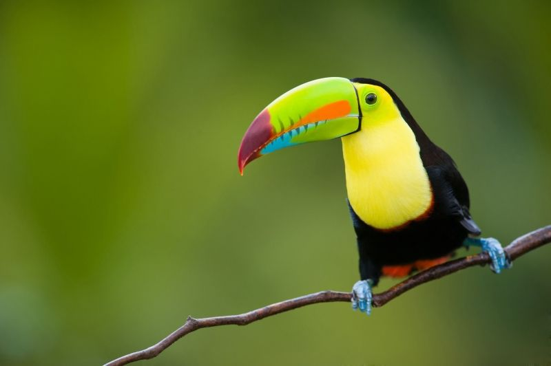 oiseau toucan multicolore photo