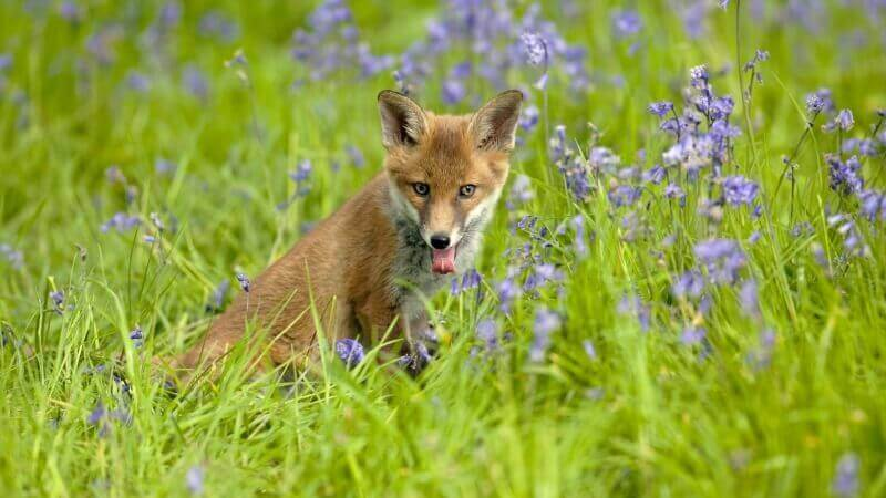 renard dans la prairie photo image wallpaper