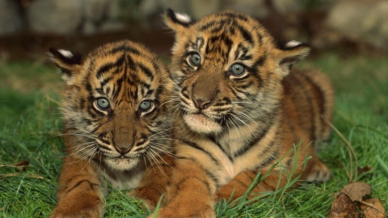 jeunes tigres photo wallpaper