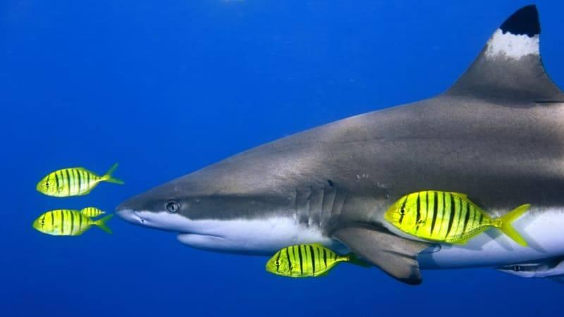 Requin Et Poissons Photo Wallpaper Fond Ecran Hd