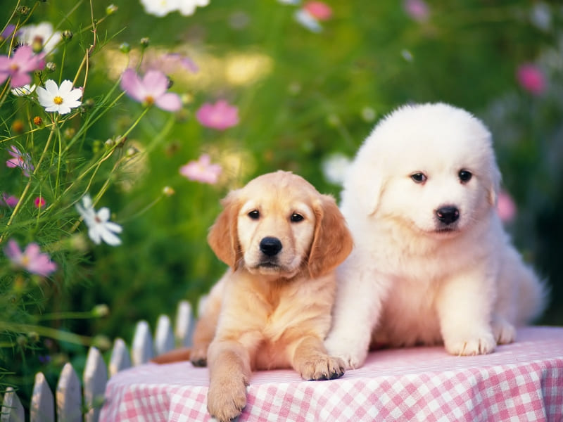 chiots chiens dog wallpaper