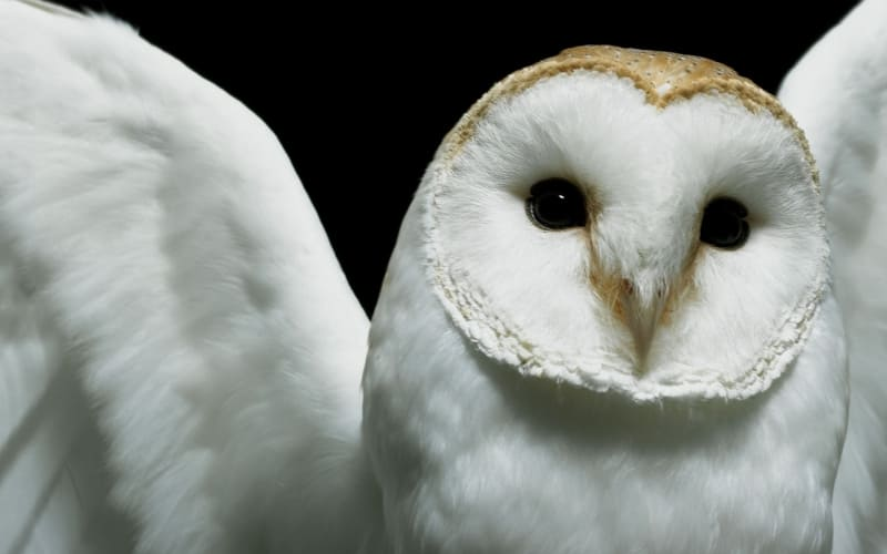 hibou chouette blanche photo