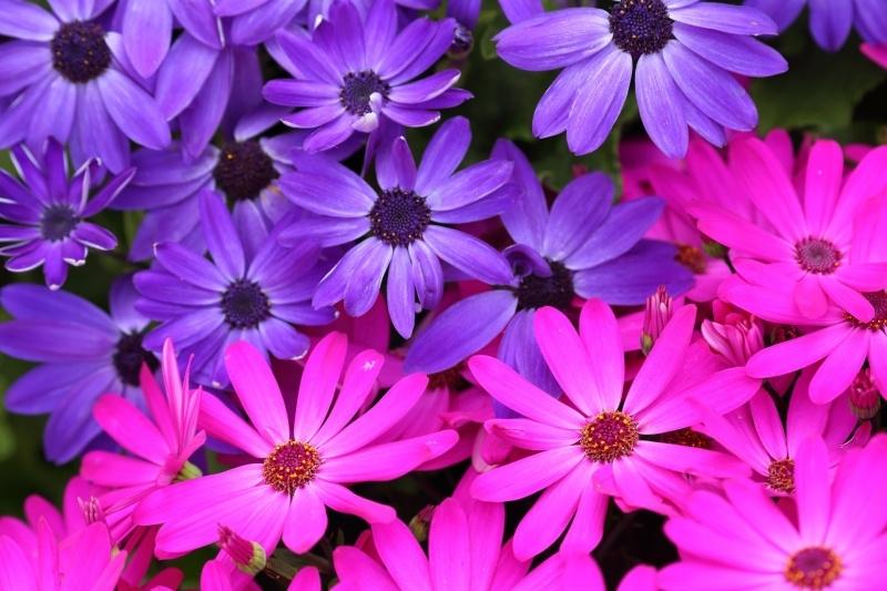 Fleurs colorées bleu et rose plante nature:: Fond Ecran HD